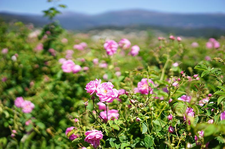 fleurs-grasse