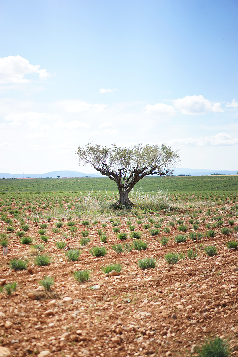 loccitane-provence-oliviers