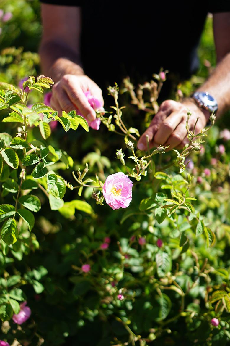recolte-fleurs-chanel